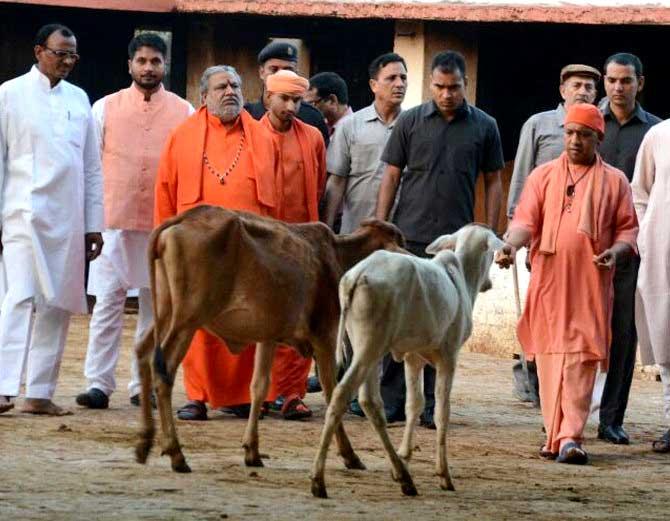 गाय को चारा खिलाते सीएम  योगी आदित्यनाथ