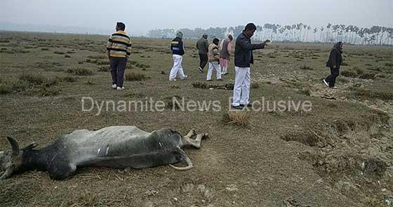 मधवलिया गोसदन में मृत गाय