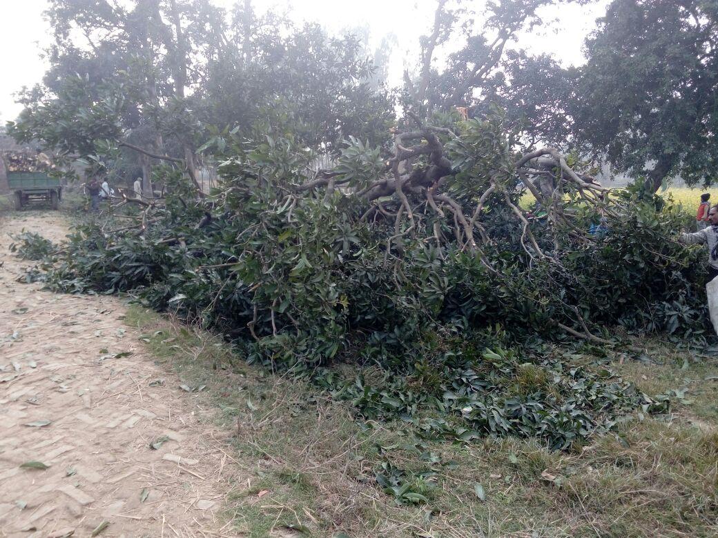 खेसरहा क्षेत्र में निर्ममता से काटे जा रहे हैं आम के बगीचे
