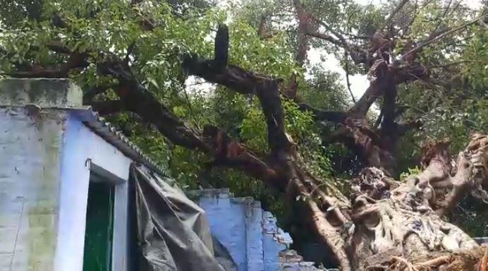 धराशाई पेड़