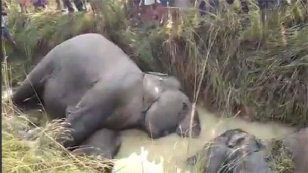 मृत हाथी