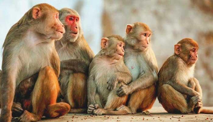 गांव में बंदरों ने मचाया आतंक (फाइल फोटो)