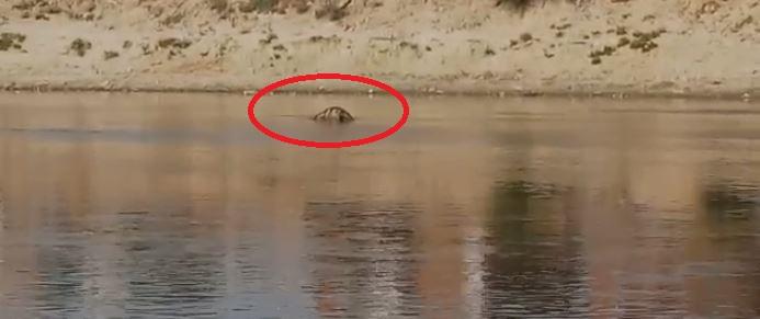 गोमती नदी के पानी में तैरती मरी हुई गाय
