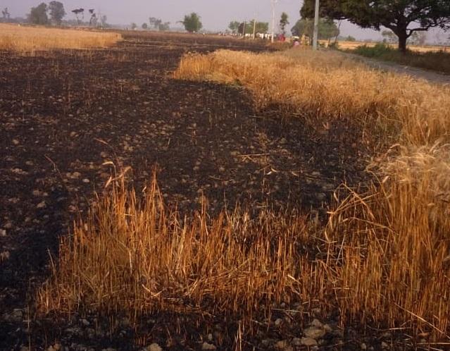 खेतों में लगी आग से जली हुई फसल