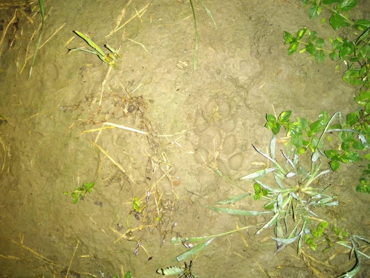 गांव में मिले तेंदुए के निशान