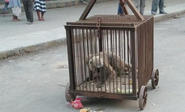 पिंजरे में बंद पागल बंदर