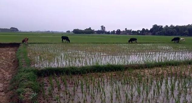 हरे भरे खेत और दावत उड़ा रहे पशु